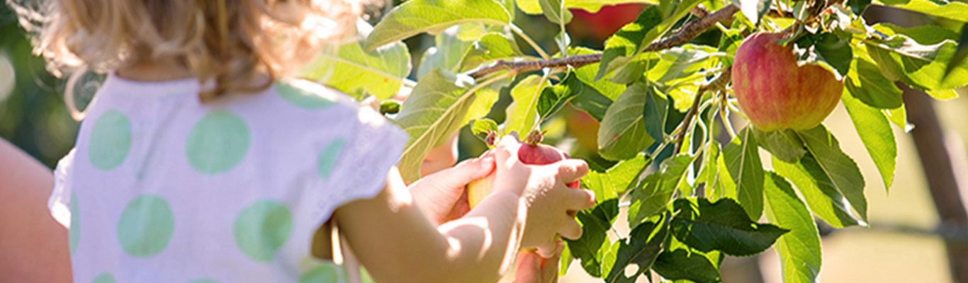 Kind plückt Apfel aus dem Daum