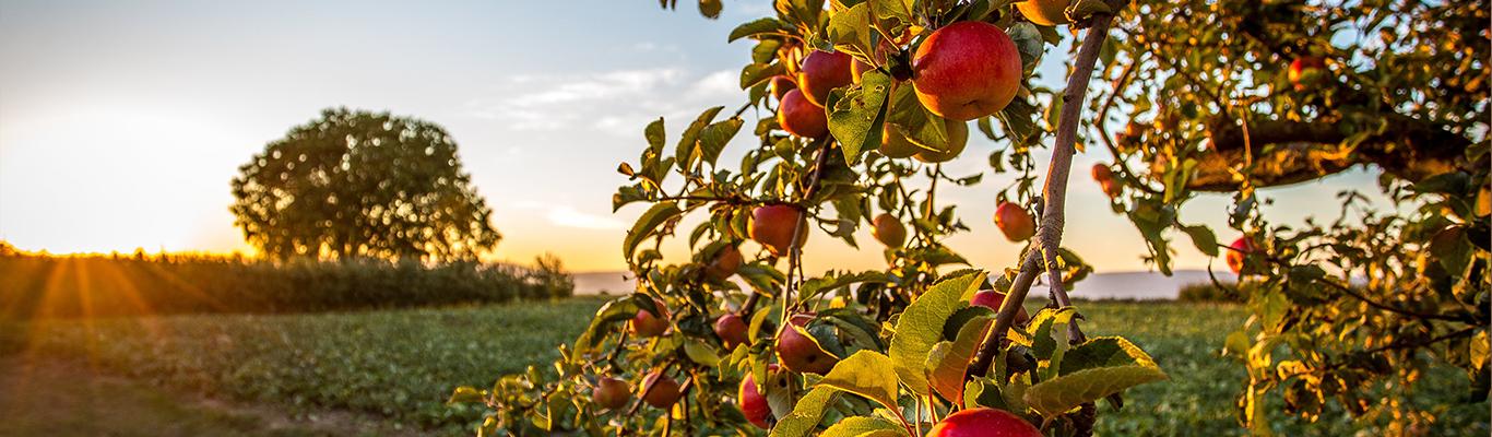 Apfelbaum mit Sonnenstrahlen