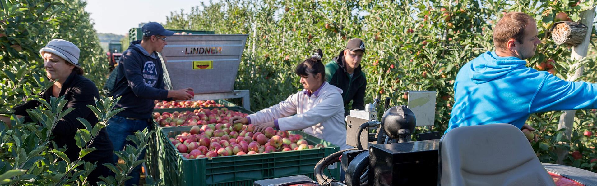 Ernte der Äpfel