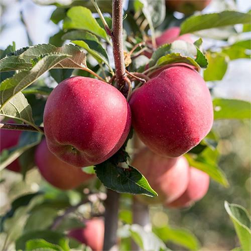 Äpfel im Baum