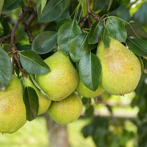 Birnen im Baum