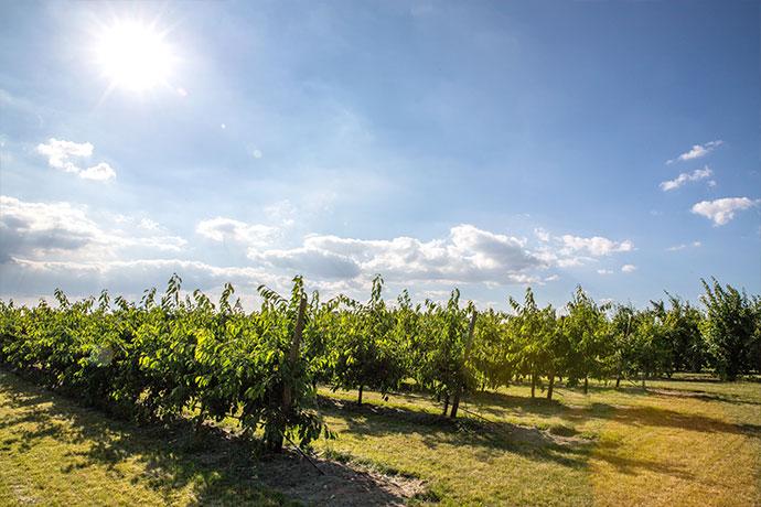 Obstfelder in Mainz Drais